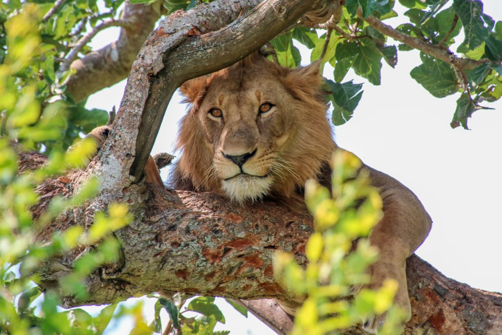Tree-climbing lion, Ishaia sector, Uganda