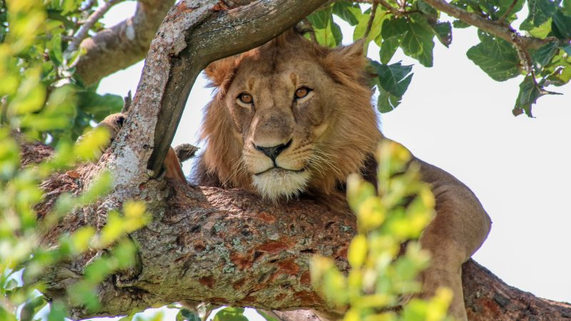Tree-climbing lions in Queen Elizabeth NP, and more (NL)