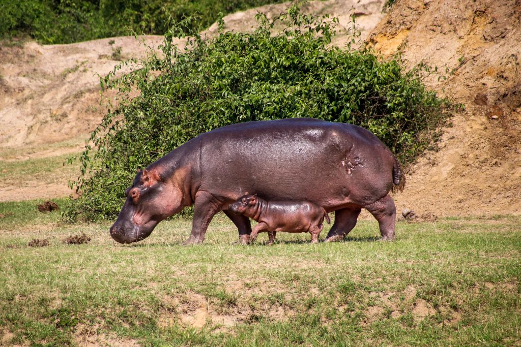 baby hippo with mother hippo. Queen Elizabteh national park, Uganda