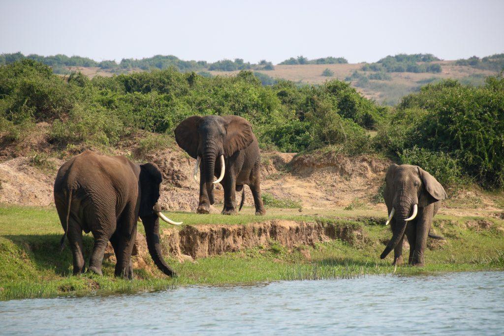 Elephants on Kazinga channel, Uganda
