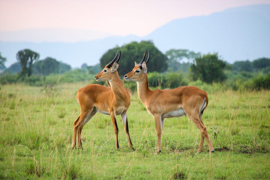 kob antelope, Queen Elizabeth NP, Uganda