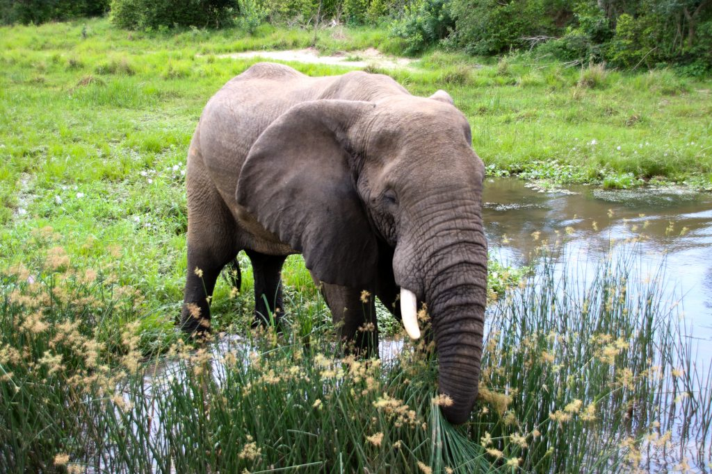 elephant Uganda Murchison Falls NP