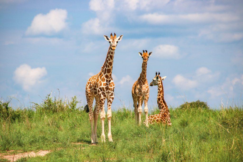 baby giraffes, Murchison Falls national park