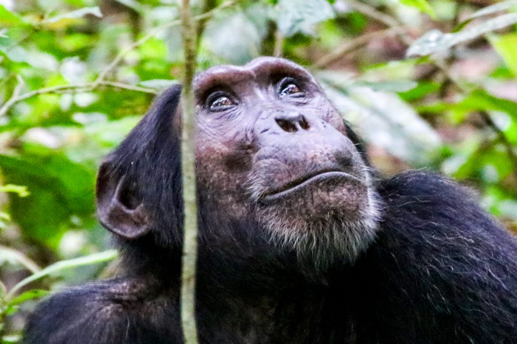 Chimpanzee looks up in forest Uganda