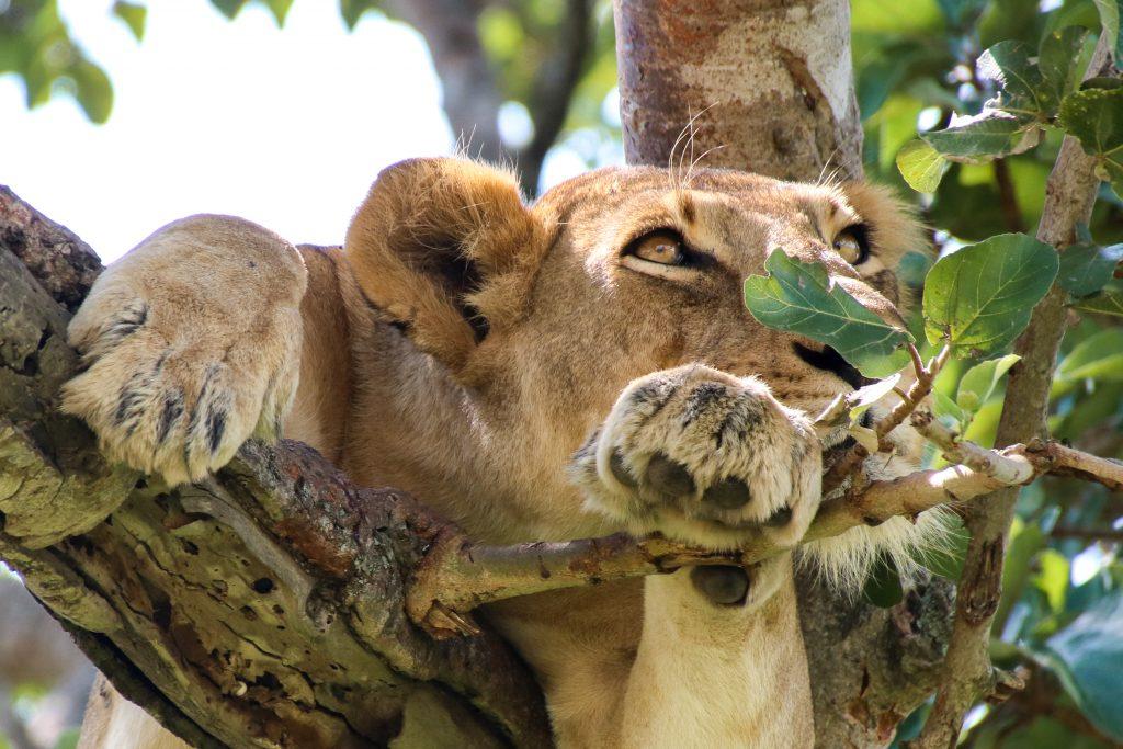 Tree-climbing Lions, QENP, Uganda