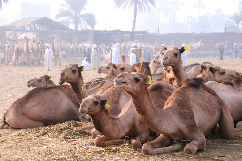 kamelenmarkt Daraw, Egypte