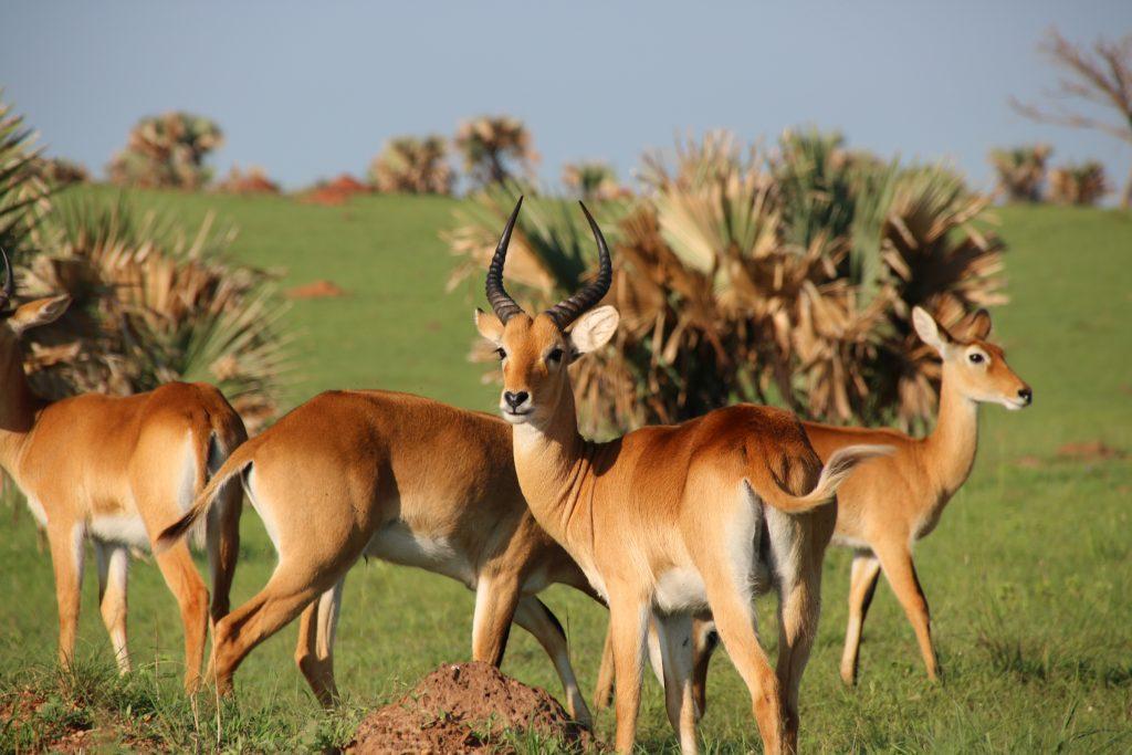 kob antelope