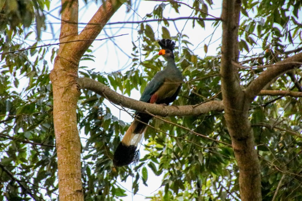 Blue tracos are not in the same habitats as where you find shoebill storks