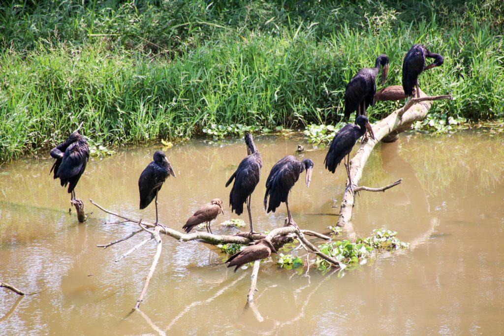 open-bill storks uganda