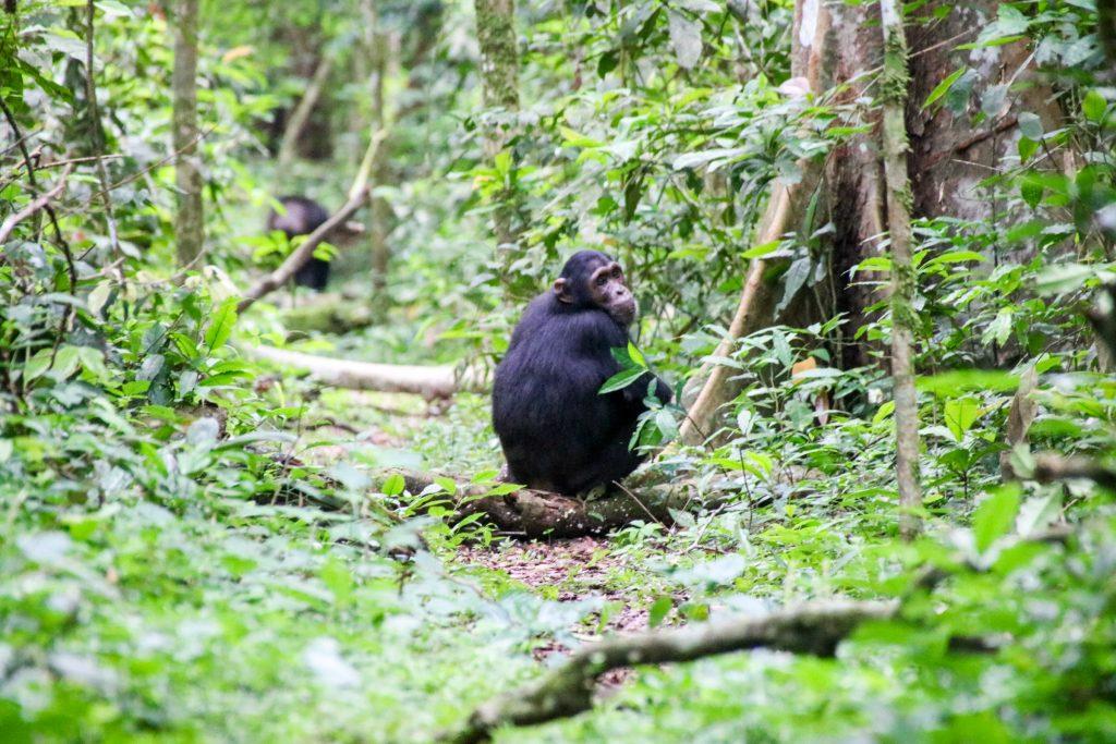 Chimpanzee roadtrip Oeganda