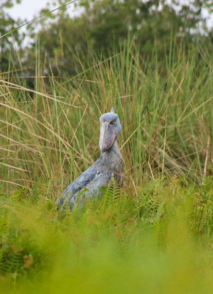 where to find shoebill storks in Uganda