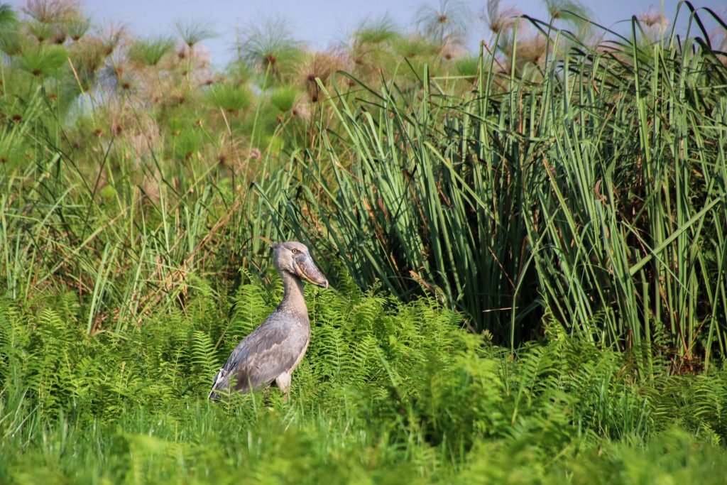shoebill stork Uganda