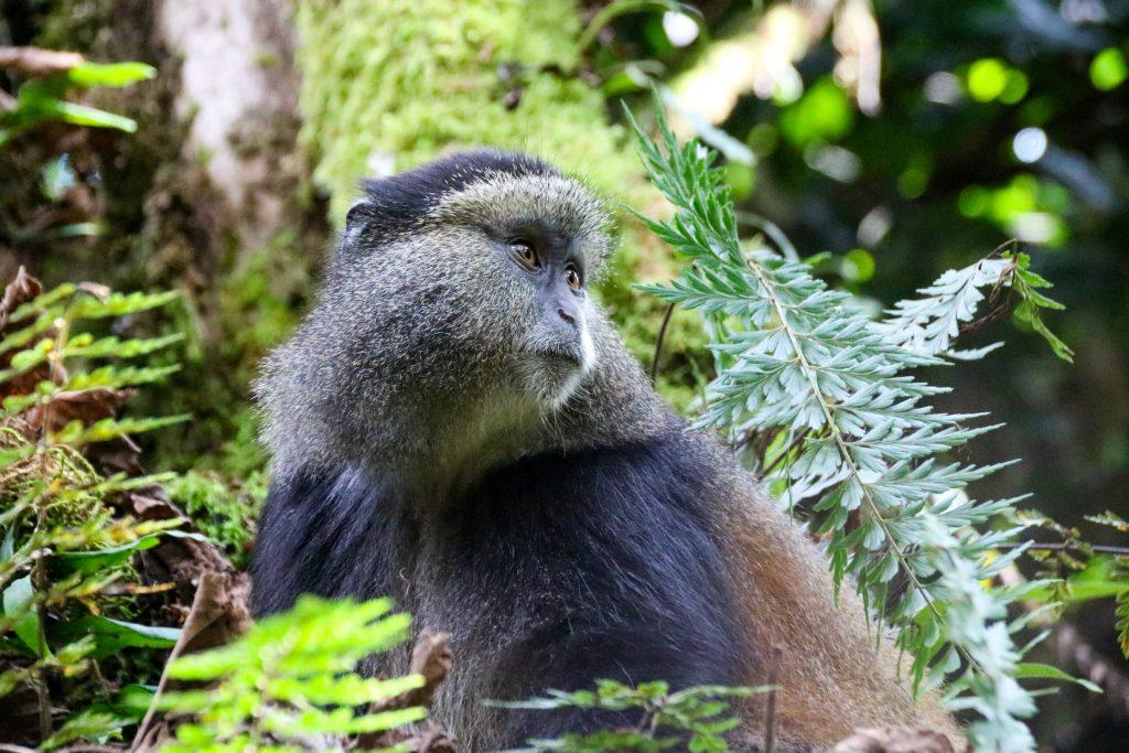 Golden monkey, Uganda