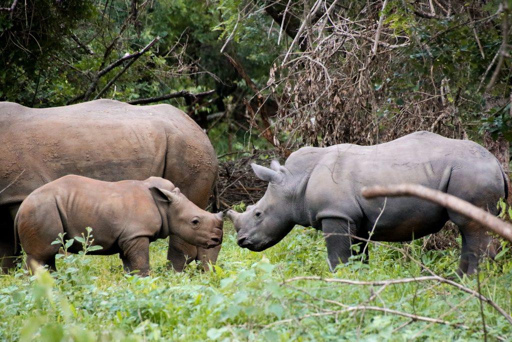 two baby rhinos in Ziwa Rhino Sanctuary, Uganda