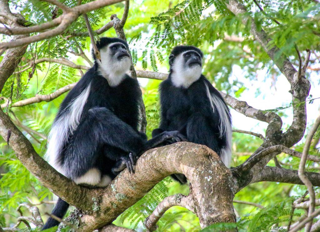 Uganda vlack-and-white colobus monkeys