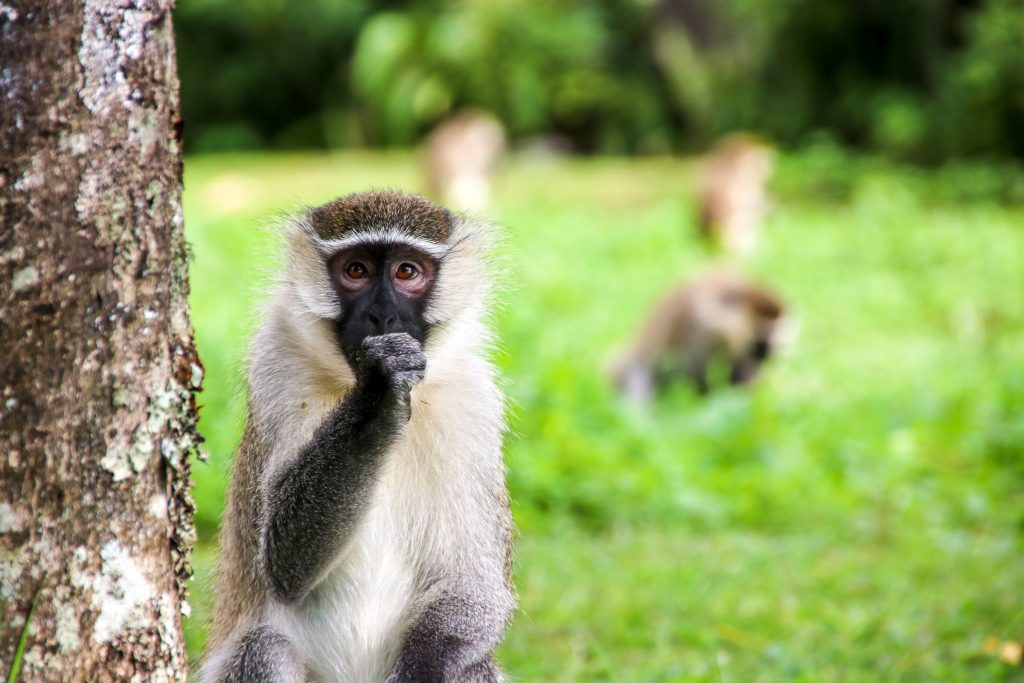 Vervet monkey, Lake Nkuruba, Uganda.