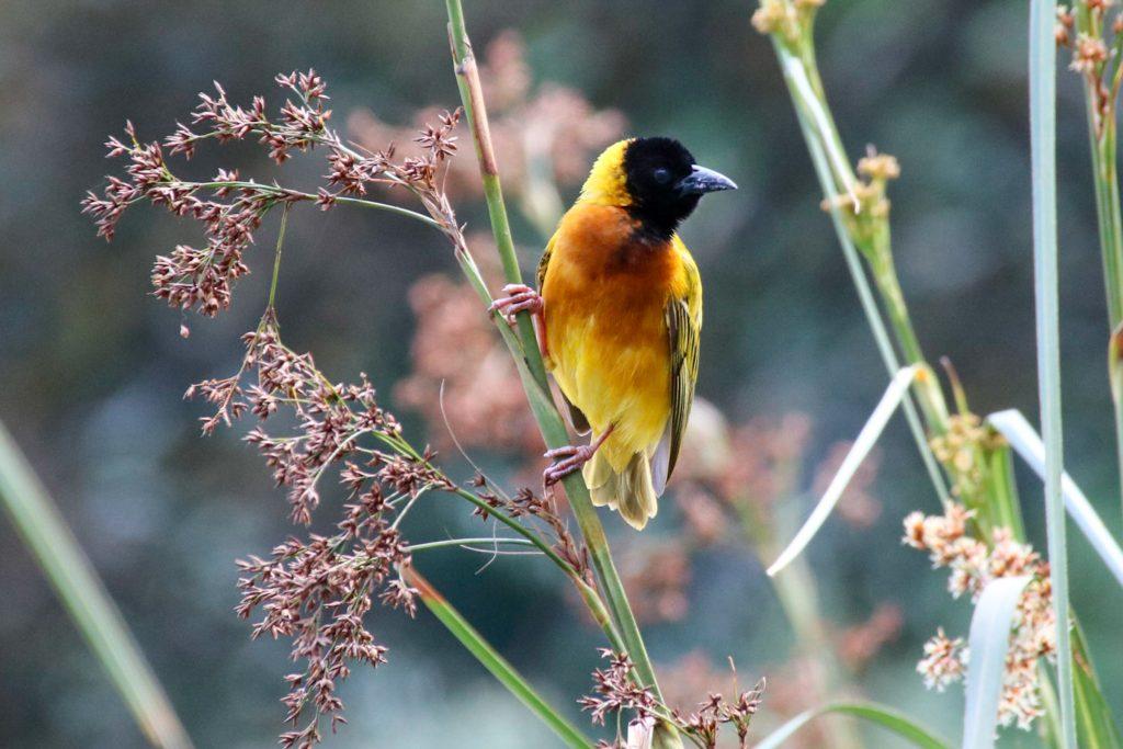 Weaver bird Uganda